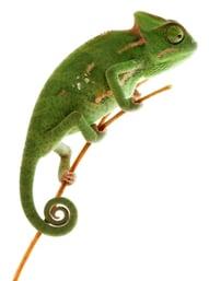 Chameleon-394321-edited.jpg